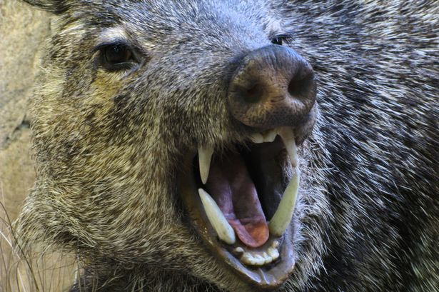 An-angry-feral-pig